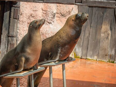 Sea lions waiting on their stand. They are about to perform some acrobatics for a show at the natural park of Cabarceno in Cantabria, Spain.