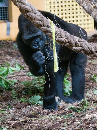 Wild gorilla walking and eating. He is at his home in the natural park of Cabarceno in Cantabria, Spain.