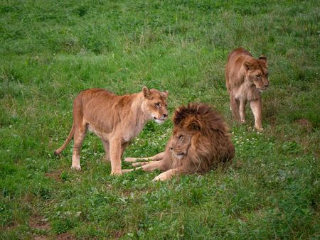 Wild lions resting. The male lion is lying on the grass while the female ones are walking around. They are at their home in the natural park of Cabarceno in Cantabria, Spain.