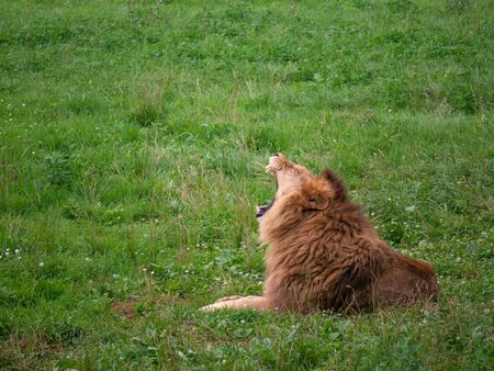 Wild lion resting. He is lying on the grass at his home in the natural park of Cabarceno in Cantabria, Spain.