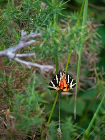 Colorful black, white and orange butterfly. She is standing on a branch, with a blurry background in the natural park of Cabarceno in Cantabria, Spain.