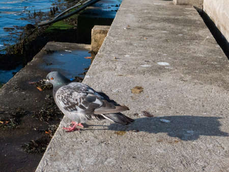 Pigeon cooling off and looking for food on a staircase by the beach water.