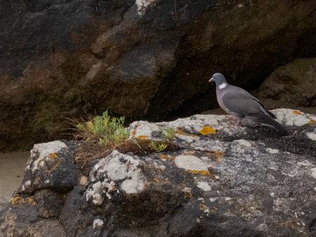Pigeon exploring among rocks Stock Photo