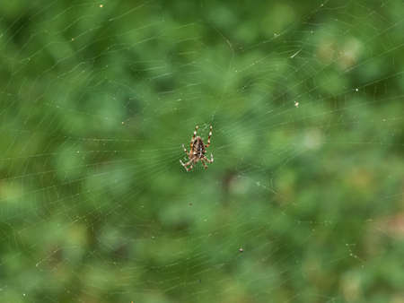 Spider in the center of a web on a green background of vegetation