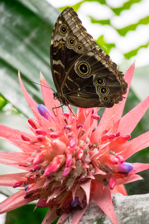a beautiful butterfly filling up on nectar from a pink flower