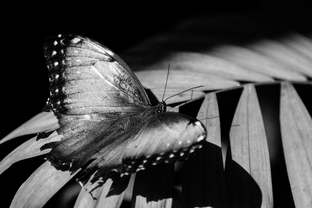 a beautiful butterfly perched in a leaf in black and white