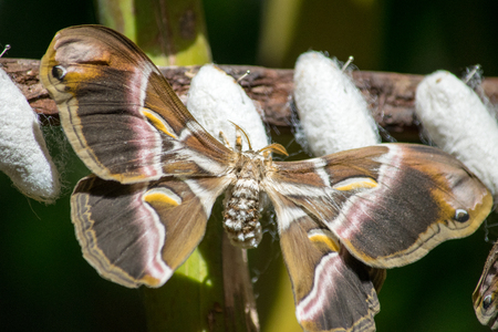 a recently emerged moth around its cocoon Stock Photo