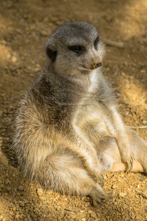 a fat Meerkat sitting in the shade relaxing like a person