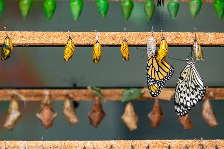 a collection of butterfly's in chrysalis form ready to immerge as beautiful adult butterfly's