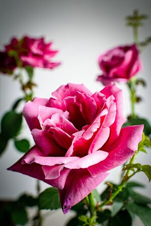 a trio of pink roses in full blossom with one in focus and the other two in the background Reklamní fotografie