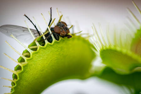 one common green bottle fly being eaten by a venus flytrap flower