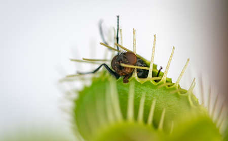 one common green house fly being eaten alive by a hungry venus flytrap plant