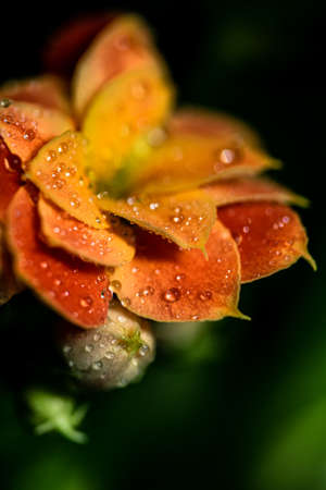 a orange flower blooming covered in morning dew