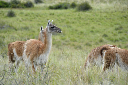 Heard of guanacos in the patagonia Stock Photo