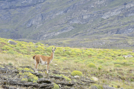guanaco: Guanaco standing in the patagonia