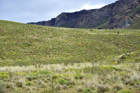 Big heard of guanacos taked from fare in the patagonia hills