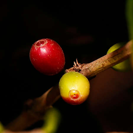 fresh ripe and green coffee bean on a branch