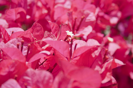 clambering: Close up of pink bougainvillea flower Stock Photo