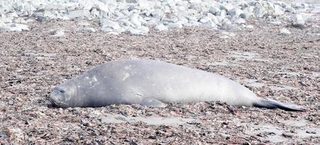南極の野生のアザラシ