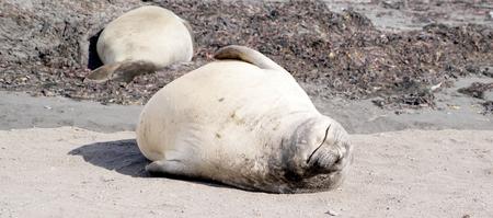 wild seal in antarctica