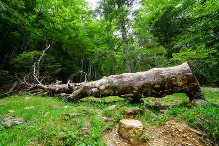 Fallen tree trunk on the ground in the middle of the green forest.