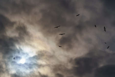 Vultures flying in the cloudy sky with the sun facing and dramatic sky. Segovia. Spain.