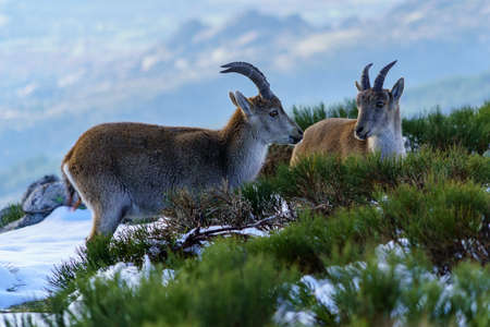 Wild goats at the top of the snowy mountain of Madrid in winter. The Morcuera. Spain.