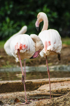 white-nose pink flamingos photo