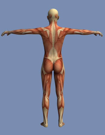 upper arm: muscles of the human body seen from behind, a man standing with open arms