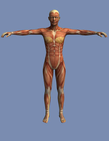 muscles of the human body viewed from the front, an upright man with open arms photo