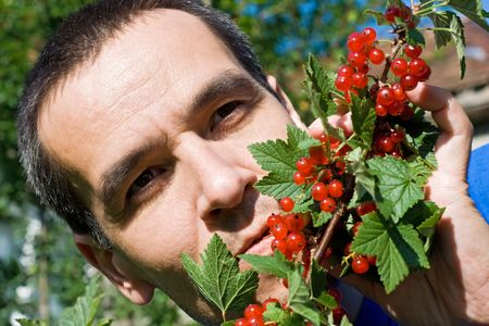 Man eating redcurrant from a branch