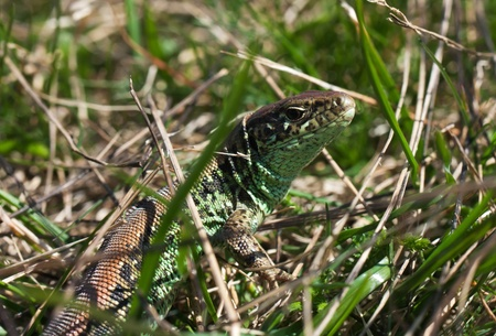 Common lizard relaxes in the grass photo