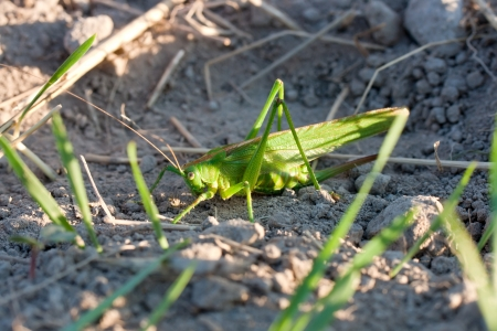 Green grasshopper on the field Stock Photo