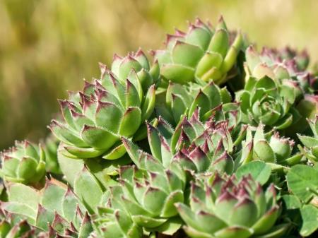 Green sempervivum in the garden