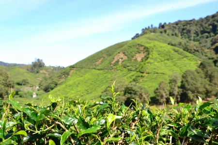 cameron highlands: Tea plantation in Cameron Highlands, Malaysia  hill in background
