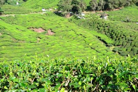 cameron highlands: Tea plantation in Cameron Highlands, Malaysia Stock Photo