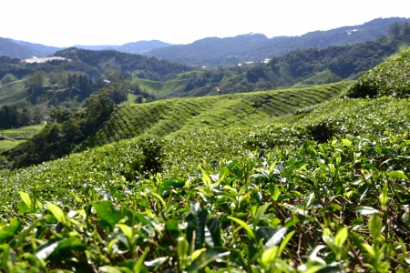 cameron highlands: Tea plantation in Cameron Highlands, Malaysia Stock Photo