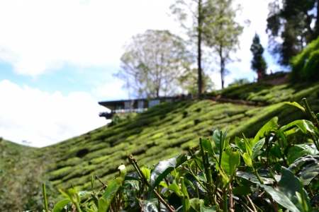 Tea plantation with teahouse at hilltop in Cameron Highlands, Malaysia Stock Photo - 17017537