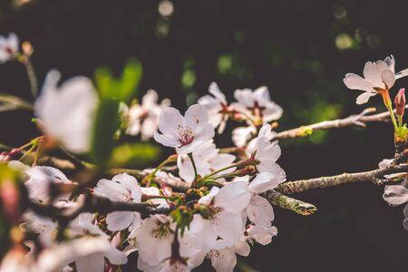 Sakura cherry blossoms blossoming at Prince Bay Park in Hangzhou, China