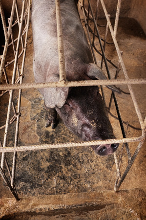 pigsty: BALI, INDONESIA - January 14, 2016: A black-skinned adult breeding sow indigenous to Bali is imprisoned in a steel cage at an Ubud pig farm on January 14, 2016 in Bali, Indonesia. Editorial