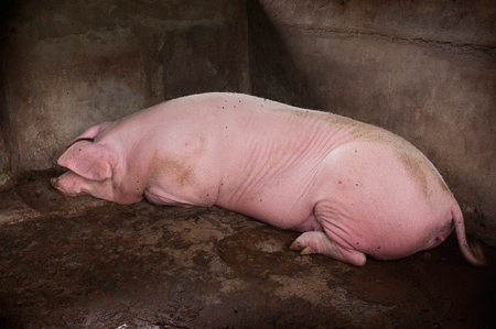 pigpen: An adult pig rests in the corner of her pigpen
