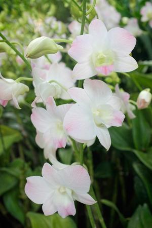 Rosa Und Weiße Orchideen \