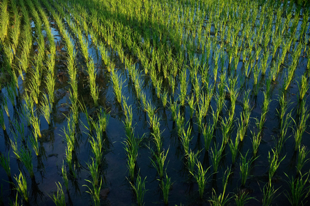 rice plant: Wet rice cultivation: 15-day-old rice plants grow in irrigated rice fields in Ubud, Bali, Indonesia.