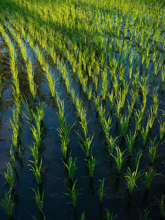 irrigated: Wet rice cultivation: 15-day-old rice plants grow in irrigated rice fields in Ubud, Bali, Indonesia.