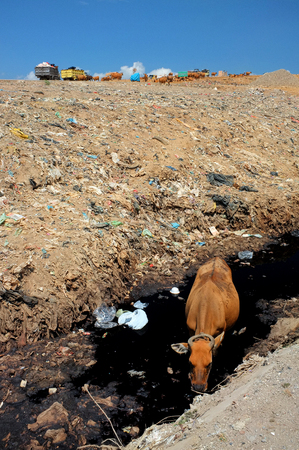 hazardous waste: A cow drinks highly contaminated water from a river next to hazardous waste and toxic trash at the biggest and most polluted landfill site on the holiday resort island of Bali, Indonesia. Stock Photo