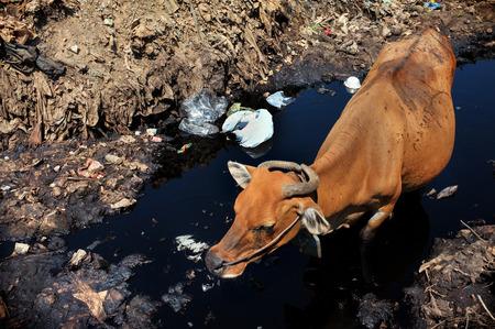 mundo contaminado: A las bebidas vaca agua altamente contaminada de un río junto a los residuos peligrosos y residuos tóxicos en el lugar más grande y más contaminada vertedero de la isla turística de Bali, Indonesia.