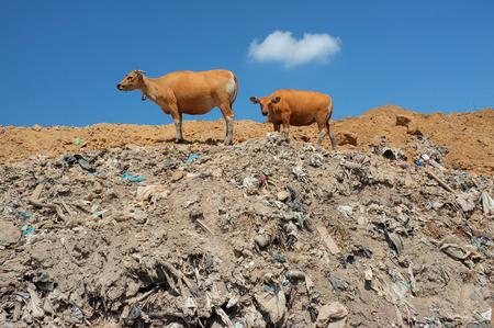 mundo contaminado: Una manada de vacas buscar comida en medio de los residuos peligrosos y residuos tóxicos en el lugar más grande y más contaminada vertedero de la isla turística de Bali, Indonesia.