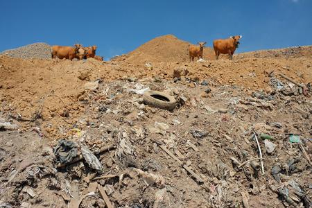 mundo contaminado: Una manada de vacas buscar comida en medio de los residuos peligrosos y residuos t�xicos en el lugar m�s grande y m�s contaminada vertedero de la isla tur�stica de Bali, Indonesia.