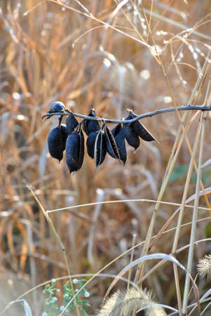 seed: Black Seed Pods Stock Photo