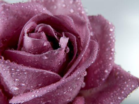 roseleaf: Drops of water on the rose. Stock Photo